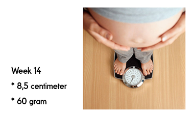 14 weken zwanger afmeting en gewicht