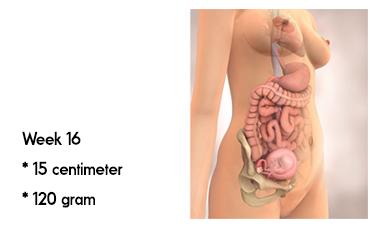 16 weken zwanger zwanger afmeting en gewicht